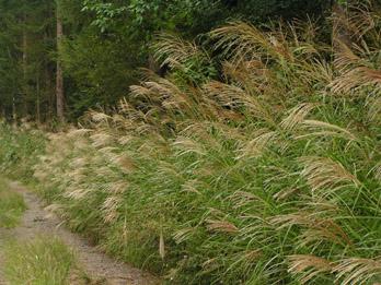 ススキの茂る信玄の棒道