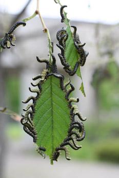 ハルニレの葉を食い荒らすニレチュウレンジ
